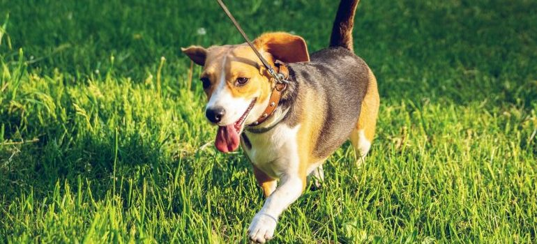 brown-and-black-beagle-walking-on-green-grass