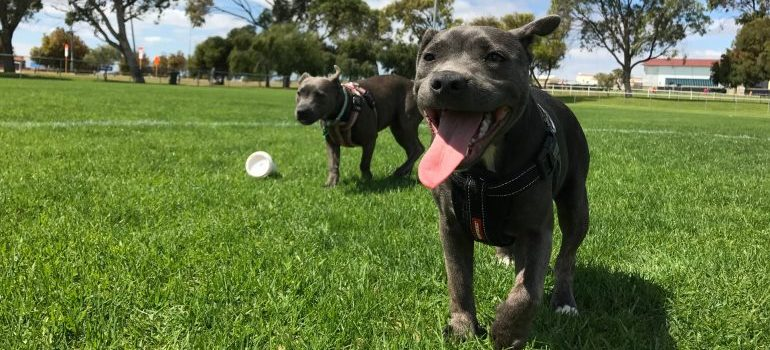 Two dogs playing in a dog park