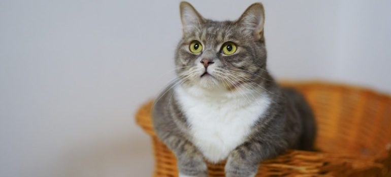 a white and gray cat sitting in a basket