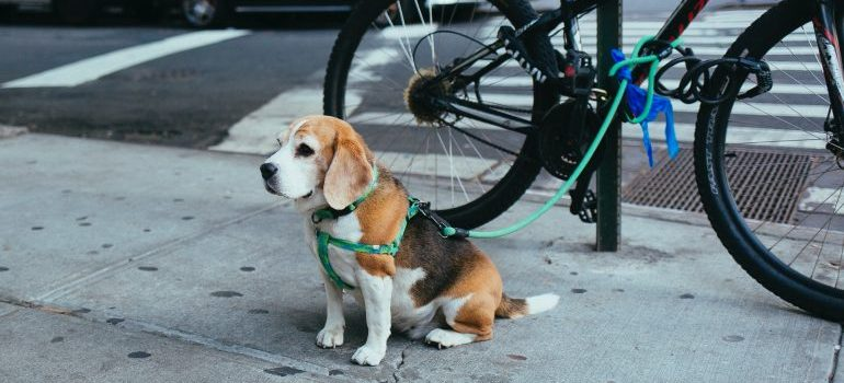A dog on a leash tied to a bicycle waiting for his pet-owner in front of a store NYC.