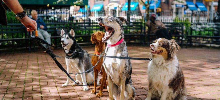 Four dogs on a walk in Central Park